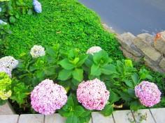 pink-hydrangeas-paseo-cayala-guatemala
